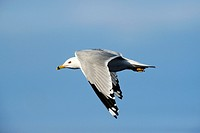 Ring-billed gull in flight Larus delawarensis Quebec, Canada
