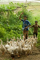 Rural kids chasing domestic swans back to their cage at a village in Meherpur, Bangladesh June 28, 2007