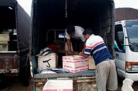 Tuna fish being packed and loaded in to a van for transport fisheries harbour, Negombo, Sri Lanka July 9, 2005