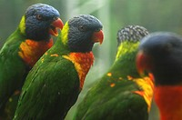 RAINBOW LORIKEETS IN JURONG BIRD PARK, SINGAPORE