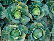Cabbage which is locally called Badhacophy, is a vegetable of Bangladesh It is found in winter season Savar, Dhaka December 2004