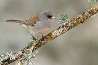Dark Eyed Junco Junco hyemalis perched on a branch at the Sandia Crest near Albuquerque, New Mexico, United States of America.