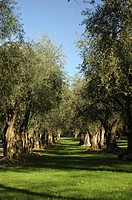 OLIVE TREES, FRANCE