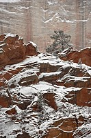 Fresh snow on a red rock cliff and evergreens, Zion National Park, Utah, United States of America, North America