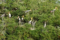 PAINTED STORKS IN KOONTHAKULAM BIRD SANCTUARY NEAR TIRUNELVELI, TAMILNADU, INDIA
