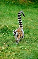 RING TAILED LEMUR lemur catta, FEMALE CARRYING YOUNG ON ITS BACK, MADAGASCAR