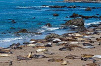 Elephant seals moulting, Piedras Blancas White Rocks, Highway 1, California, United States of America, North America