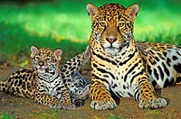 JAGUAR panthera onca, FEMALE WITH CUBS