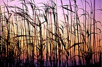 Reed thicket in Gialova lake Peloponnese Greece