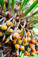 Close up of palm tree fruit _ Cycas circinalis
