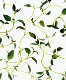Herbs on a White Background.