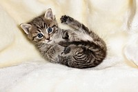 domestic cat _ kitten lying on blanket