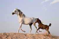 Arabian horse and foal in sand