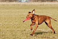 Magyar Vizsla dog with toy _ running