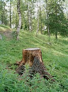 A stump by a forest, Sweden.