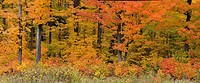 Maple trees at the edge of the forest, near Highway 60 Algonquin Provincial park Ontario
