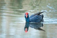 Spain, Balearic Islands, Mallorca, Alcudia Albufera, Common Gallinule Porphyrio Porphyrio