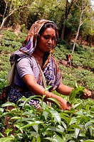 A woman plucks tea leaves at Karnaphuli tea garden in Chittagong Tea is a major industry in Bangladesh and grows in the low hills of Chittagong and Sy...