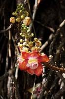 TARAPAN CANONBALL TREE couroupita guianensis, ORINOCO DELTA IN VENEZUELA
