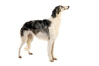 BORZOI OR RUSSIAN WOLFHOUND, FEMALE AGAINST WHITE BACKGROUND
