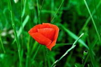 Red flower and grass