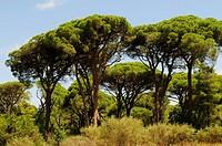 Stone Pine, Pinus pinea, near Patras, Peloponnese, Greece