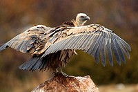 Griffon vultures feeding on a sheep