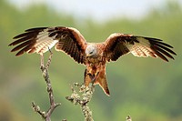 Red Kite Milvus milvus opening it´s wings