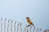 Winchat - Saxicola rubetra, Crete