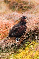 Red Grouse, Schottisches Moorschneehuhn, Lagopus lagopus scoticus, Scotland