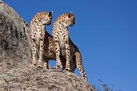 gepardenpärchen