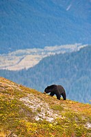 A black bear foraging for berries on a hillside near the Harding Icefield Trail near Exit Glacier and Resurrection Valley in the background, Kenai Fjo...