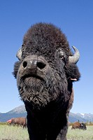 Wide angle close up of a Wood bison bull at the Alaska Wildlife Conservation Center, Southcentral Alaska, Summer. CAPTIVE