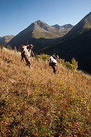 Two male moose hunters carry their trophy moose antlers as they hike out from his hunt in the Bird Creek drainage area, Chugach National Forest, Chuga...