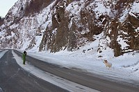 Woman stands in the middle of Seward Highway to photograph a Dall Sheep ram standing near the road, Turnagain Arm, Southcentral Alaska, Winter