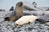 White antarctic fur seal pup Arctocephalus gazella on beach with other seals Fortuna Bay, South Georgia Antarctica