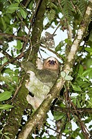 Three_toed sloth