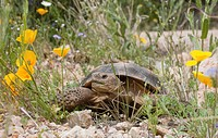 desert tortoise gopherus agassizii passes a gold poppy eschscholzia sp. in rocky desert upland, arizona, united states of america