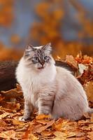 Neva, Masquarade, Siberian, Forest, Cat, Siberian, Cat, Siberia, Neva, Masquerade, autumn, foliage,