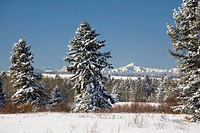 snow covered evergreen trees with snow covered mountains and blue sky, okotoks, alberta, canada