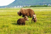 a brown grizzly bear ursus arctos horribilis with cubs, alaska, united states of america