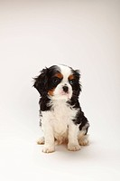 Cavalier, King, Charles, Spaniel, puppy, tricolour, 8, weeks,