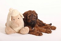 Briard, puppy, 9, weeks, with, toy, Berger, de, Brie,