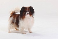 Papillon, Continental, Toy, Spaniel, Butterfly, Dog,