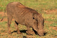 Warthogs have to bend their front legs at the knees forn thier flattened head to get at the small grass shoots