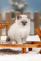 Sacred, Cat, of, Birma, kitten, 8, weeks, Birman,