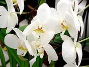 Flowers, orchid, orchids, Phaleanopis, Botanical Garden, City, Rio de Janeiro, Brazil