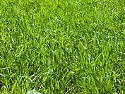 Close up of lush, green, growing grass
