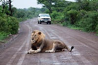 Male Lion Panthera Leo  Vulnerable species  Lion lying on a tourist road in Imfolozi   Hluhluwe Imfolozi Game Reserve  Kwazulu-Natal, South Africa  No...