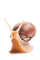 the garden snail